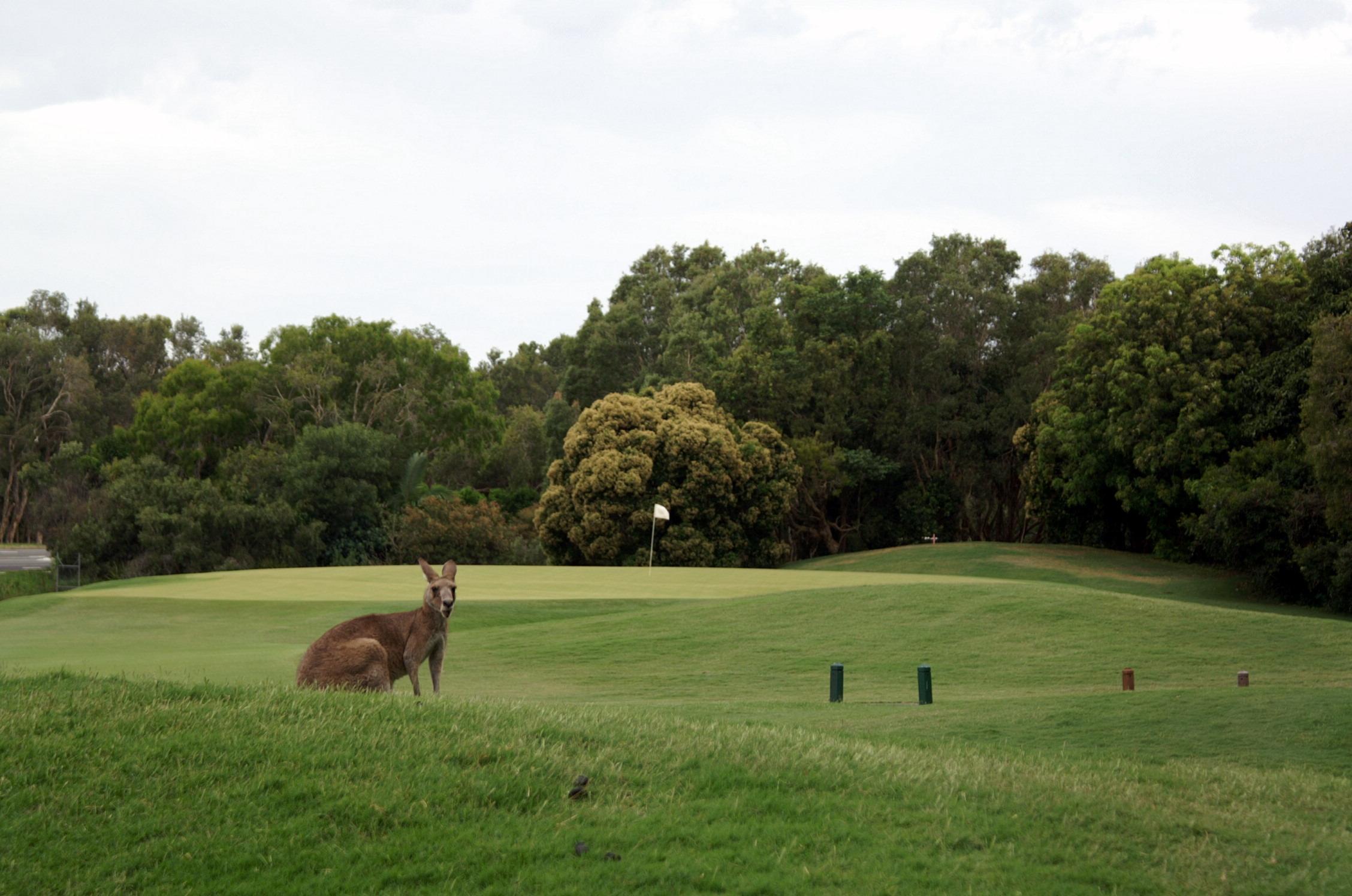 Kangaroo on a Hyatt Regency Coolum's fairway