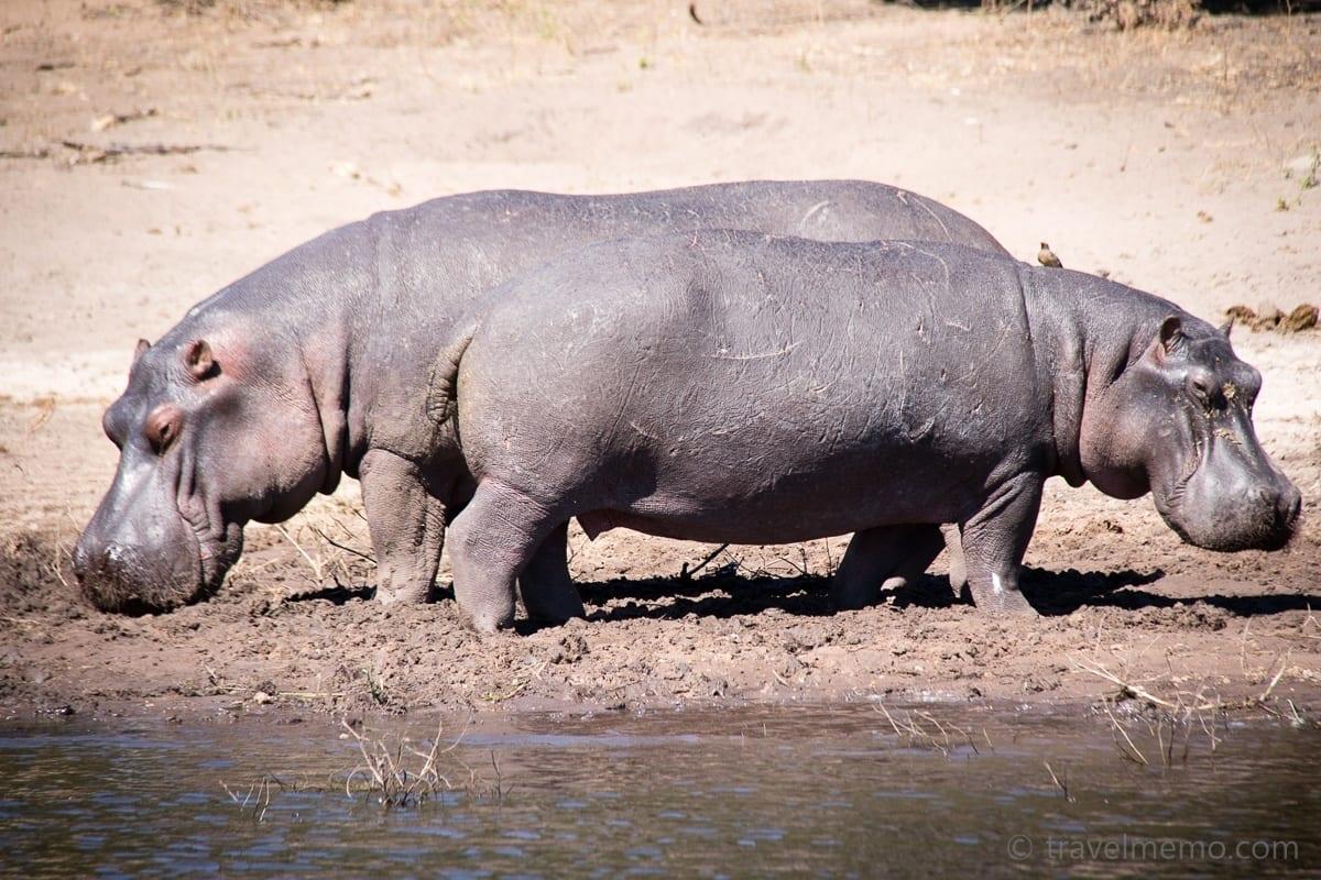 Flusspferde im Chobe Nationalpark