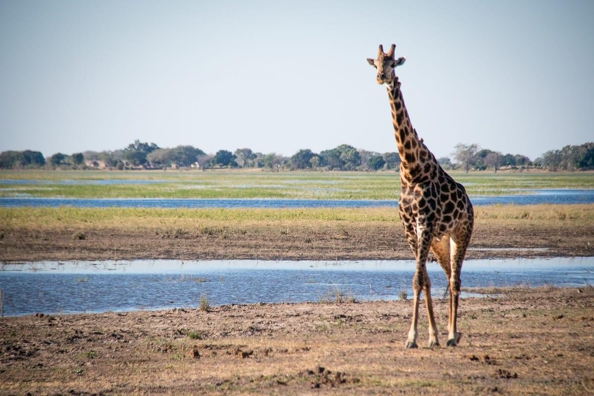 Giraffe am Fluss Chobe