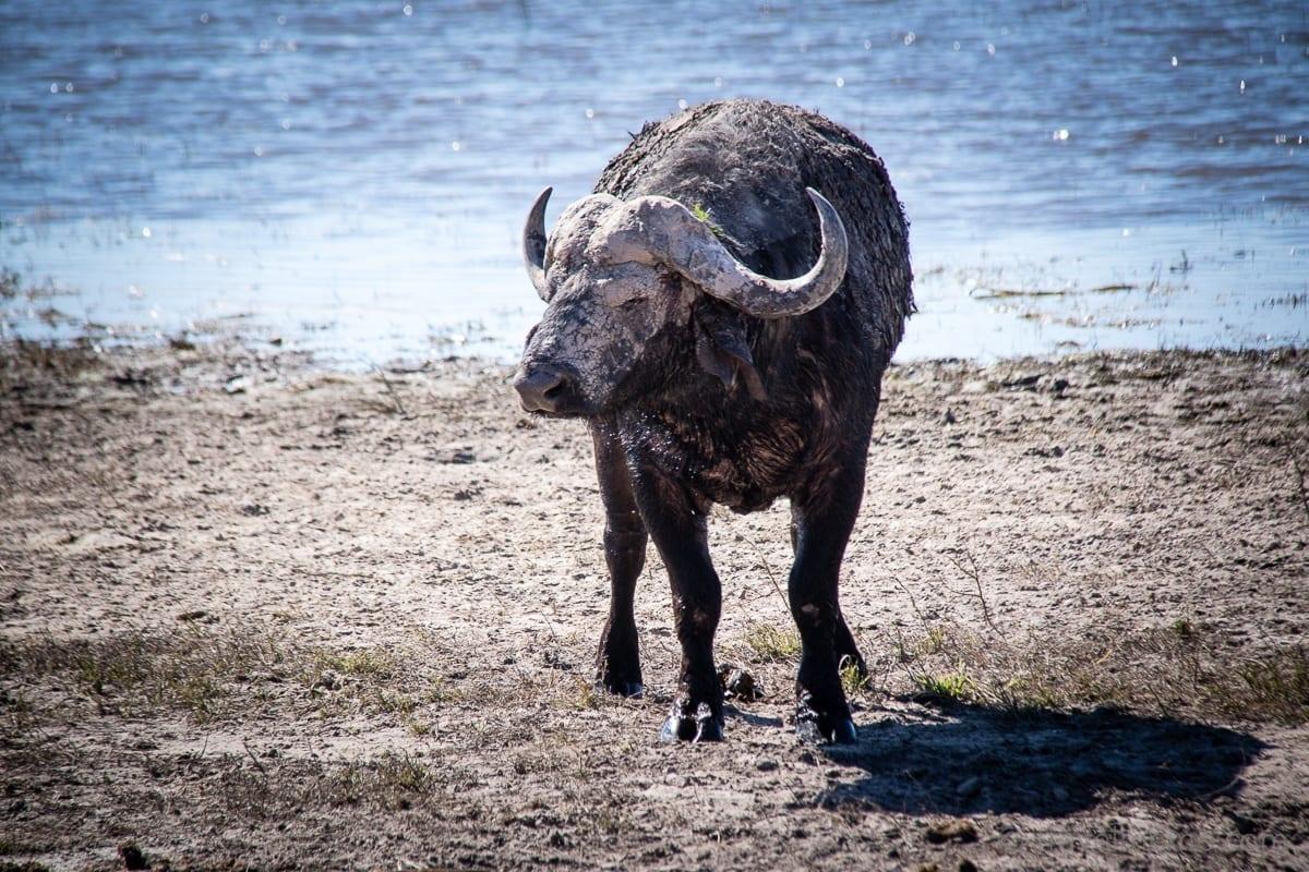 Der Büffel