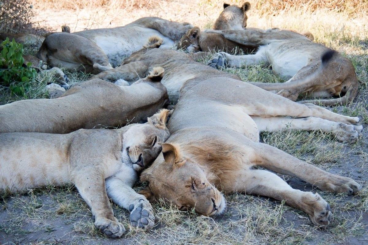 Löwenrudel bei der Siesta