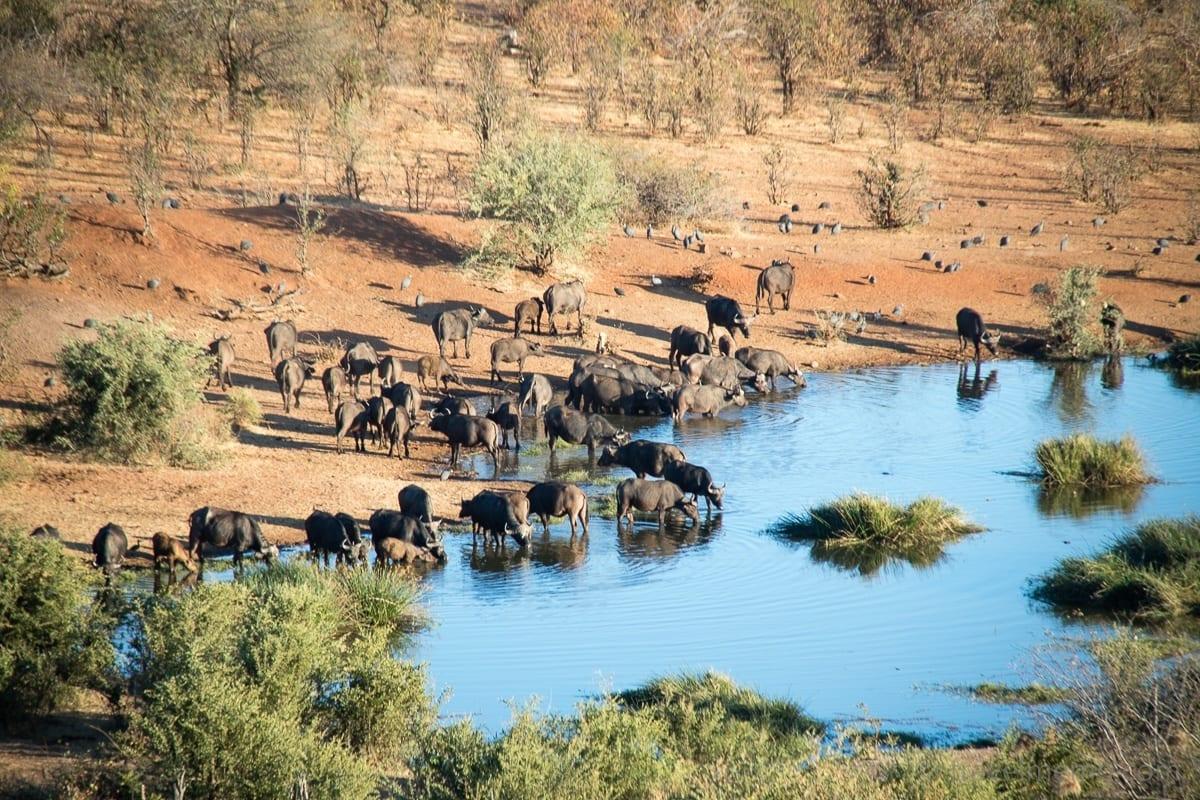 Büffelherde am Wasserloch der Victoria Falls Safari Lodge