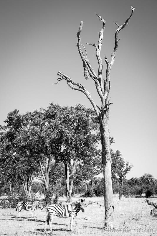 Zebra vor totem Baum
