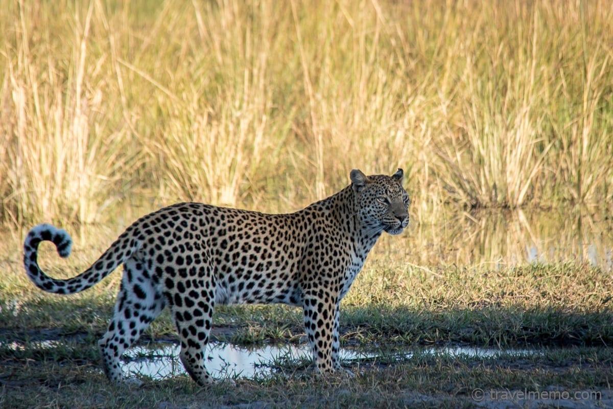 Da ist er - der Leopard!