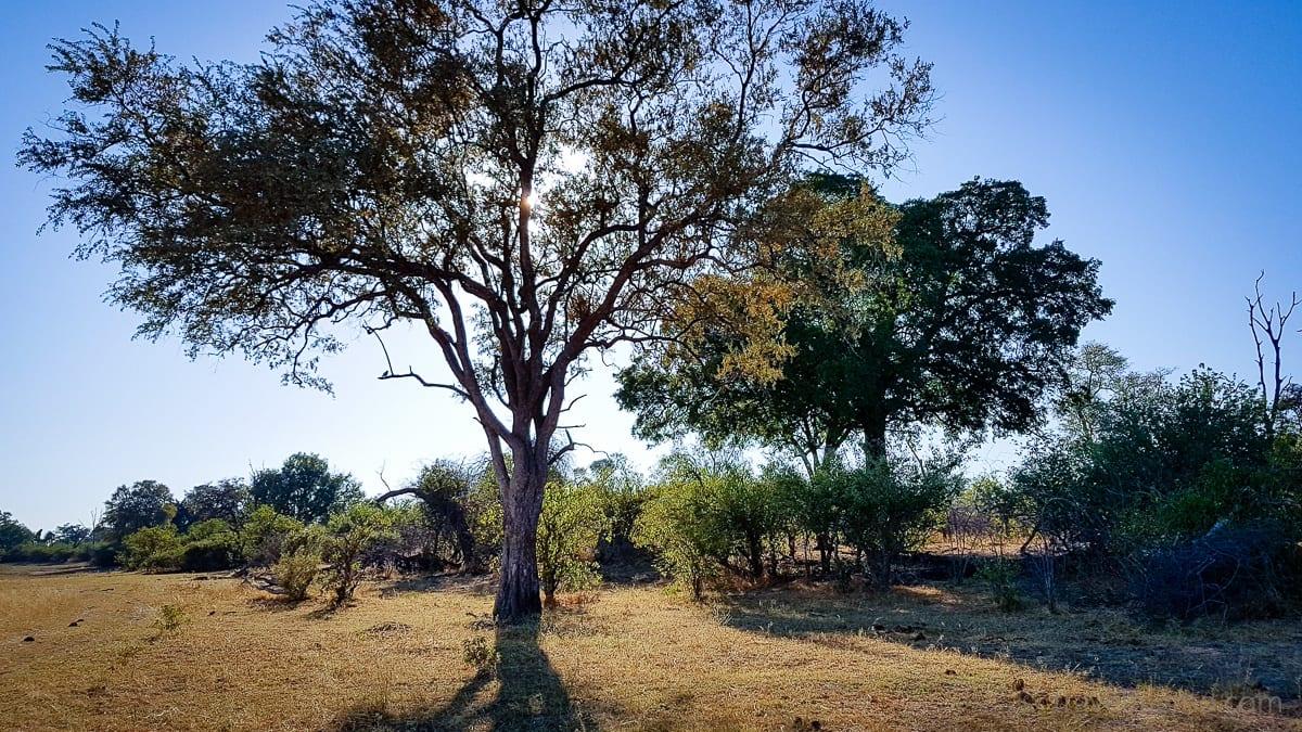 Bäume im Linyanti Gebiet