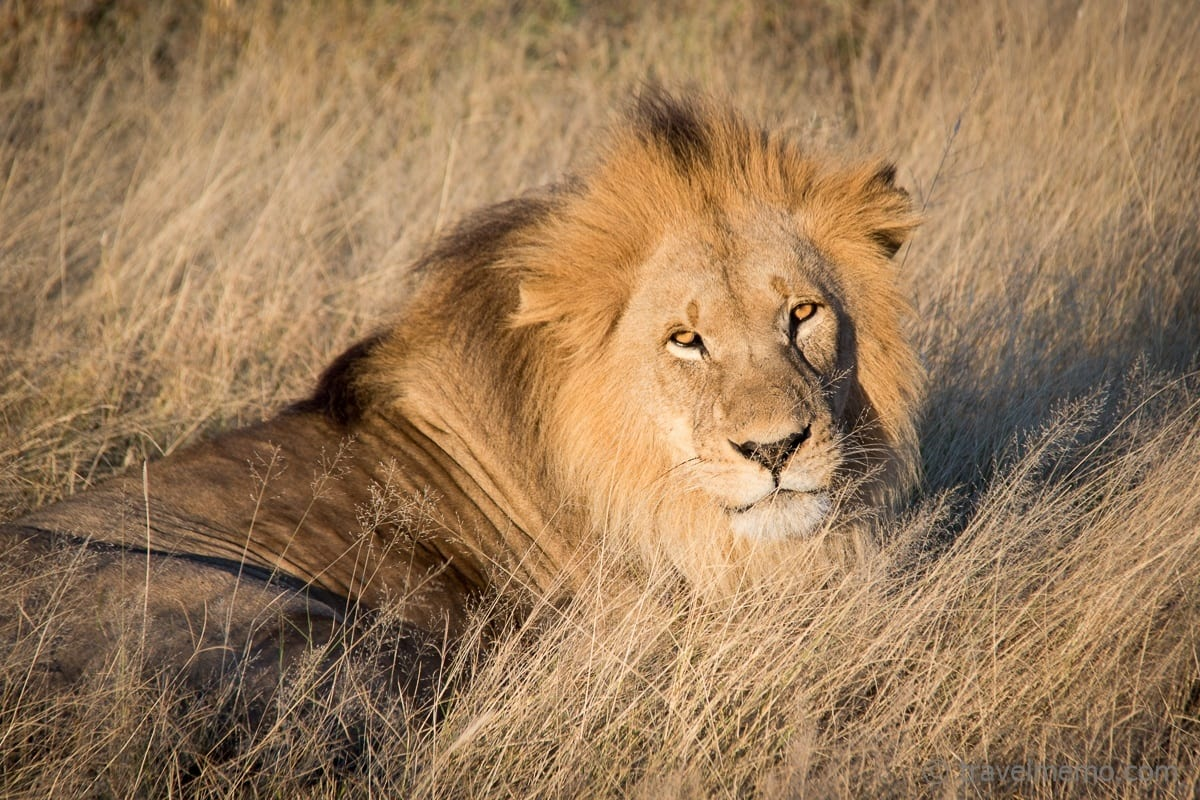 Lion relaxing in the sun