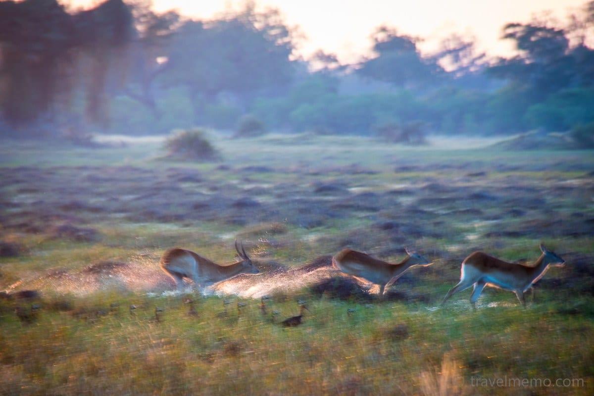 Impalas im Little Mombo Camp bei Sonnenaufgang