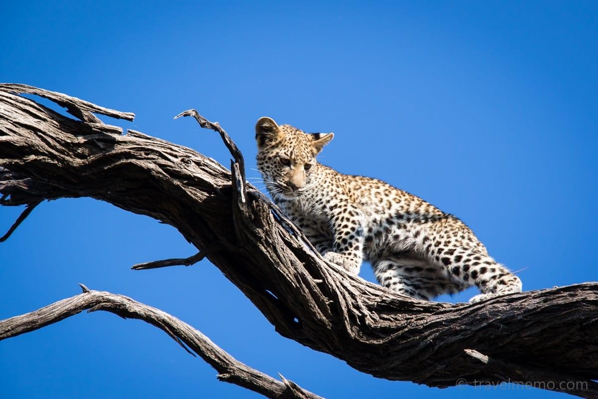 Kleiner Leoparde auf dem Baum