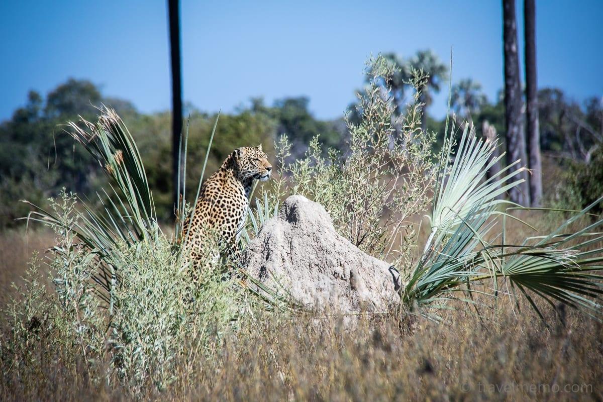 Der Leopard wartet bis sich die Situation beruhigt hat