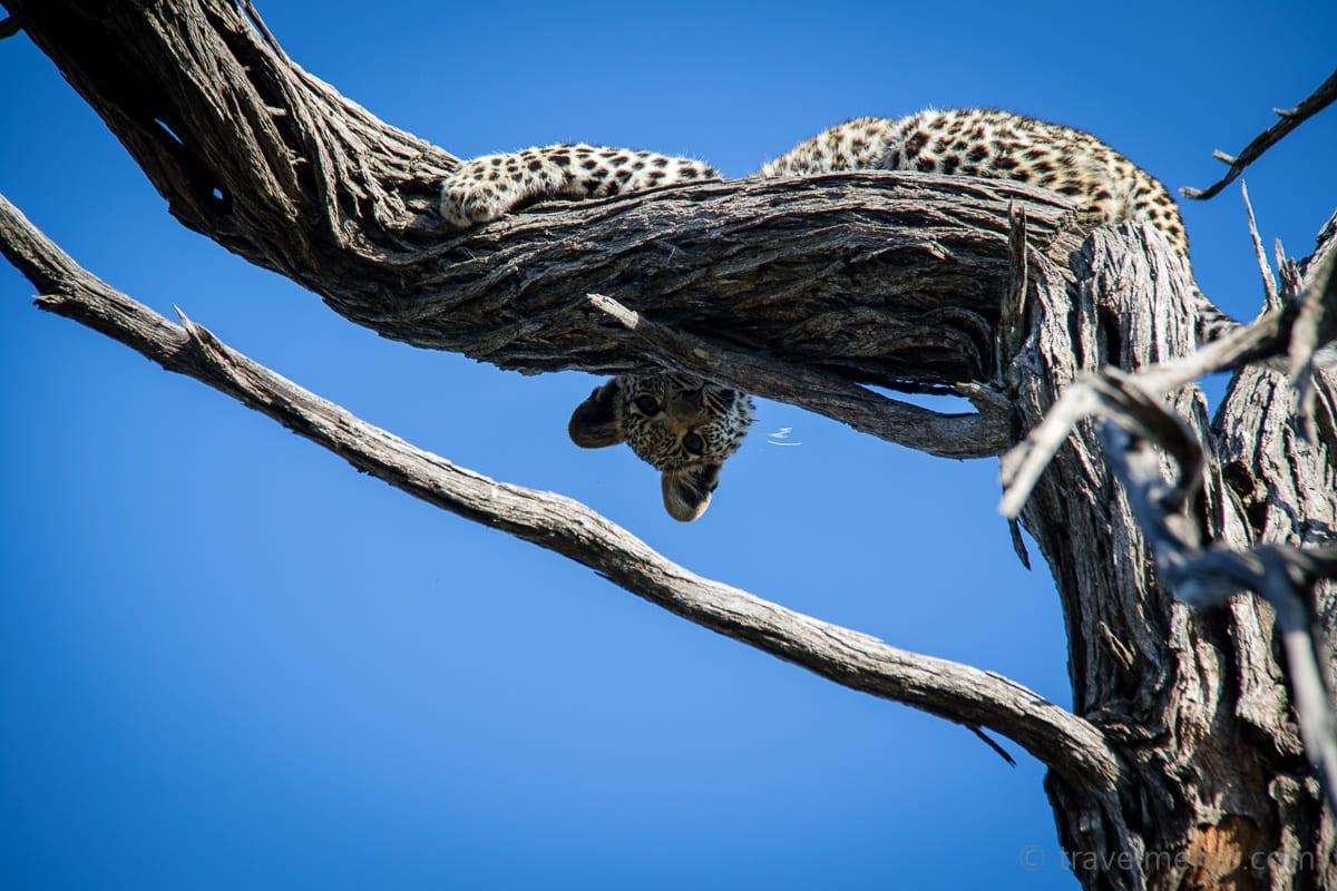 Junger Leoparde auf dem Baum