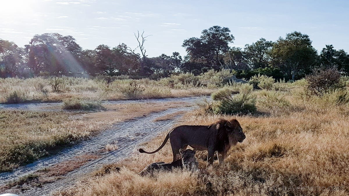 Löwenpaar nach dem Paarungsakt