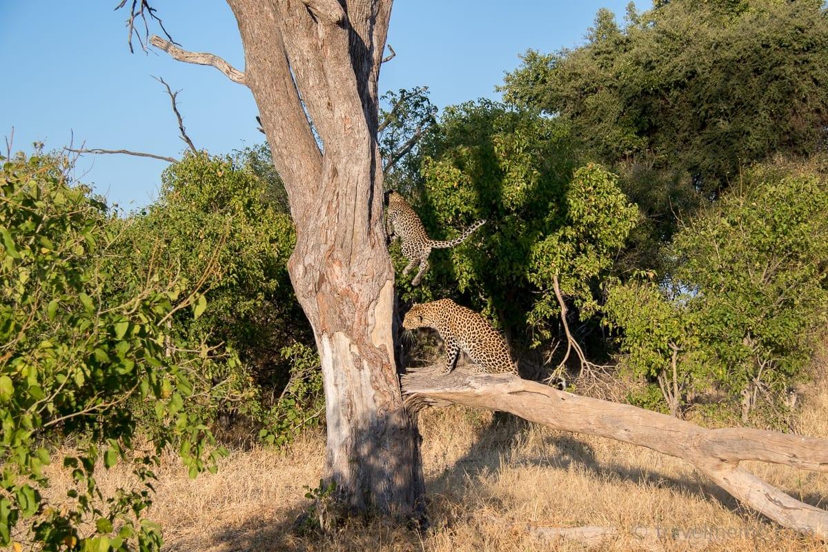Der Leopardenjunge hüpft auf den Baum