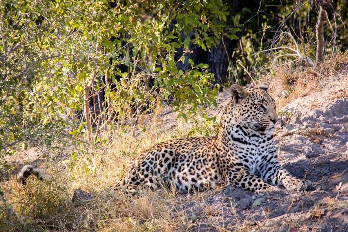 Leopard in the Okavango Delta