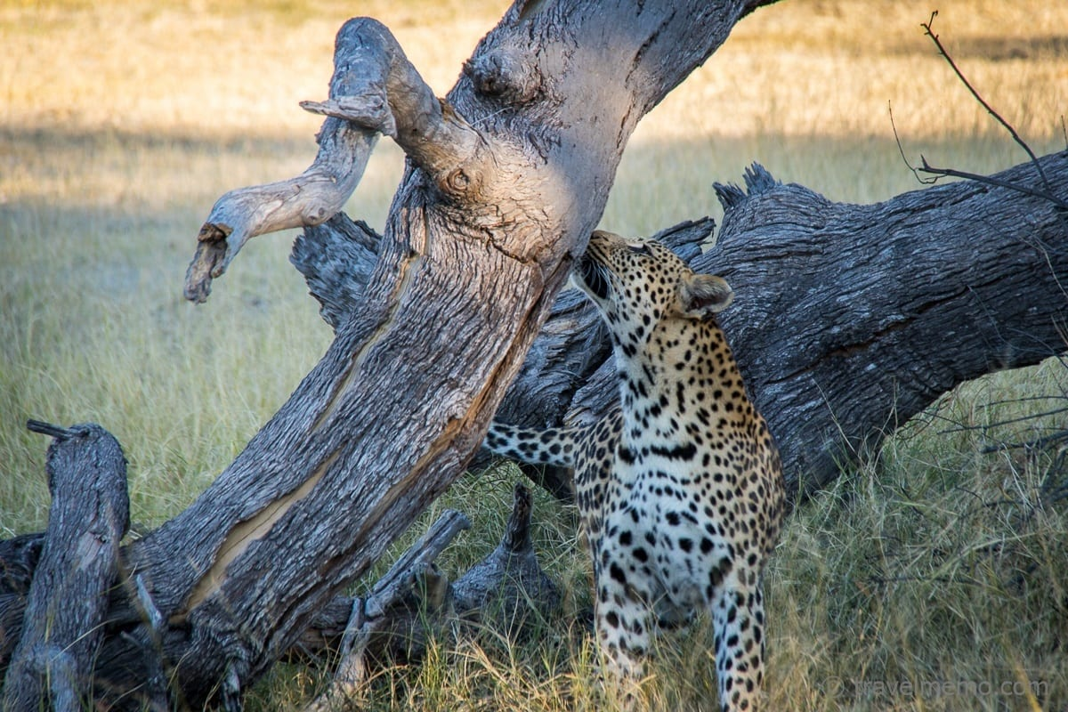 Leopard snuffling around