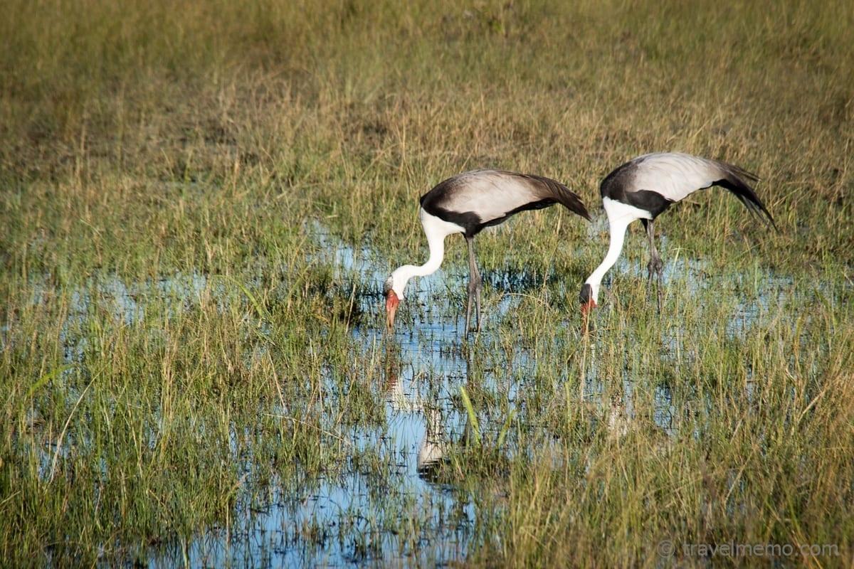 Trinkende Klunkerkraniche in der Jao Concession Okavango Delta