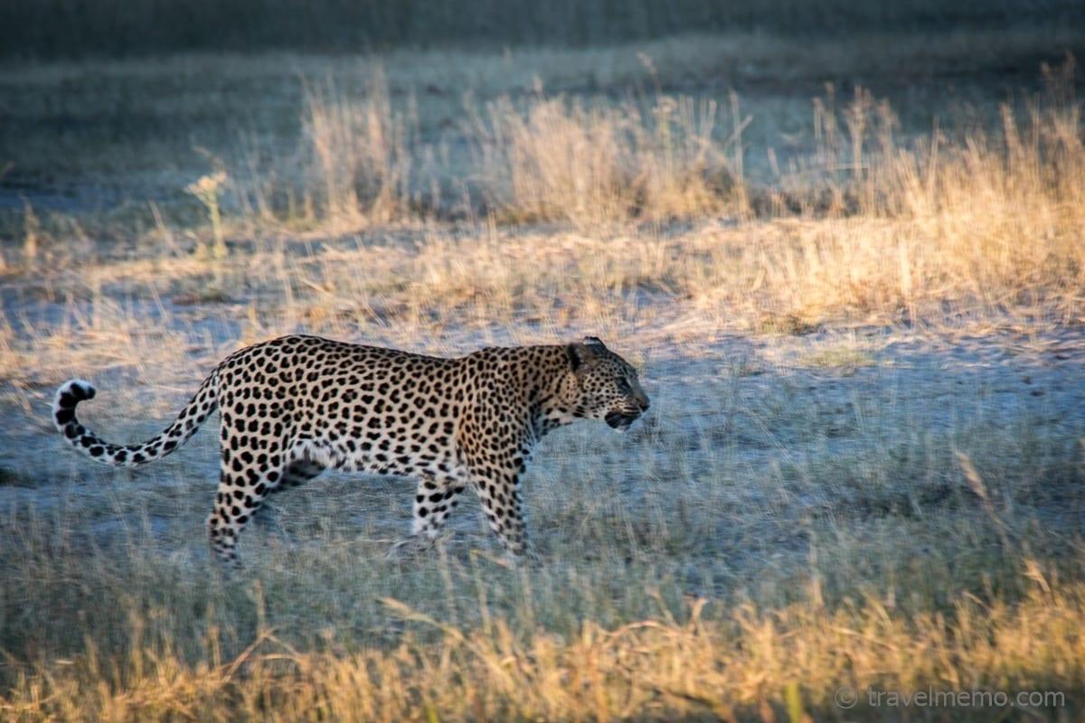 Der Leoparde