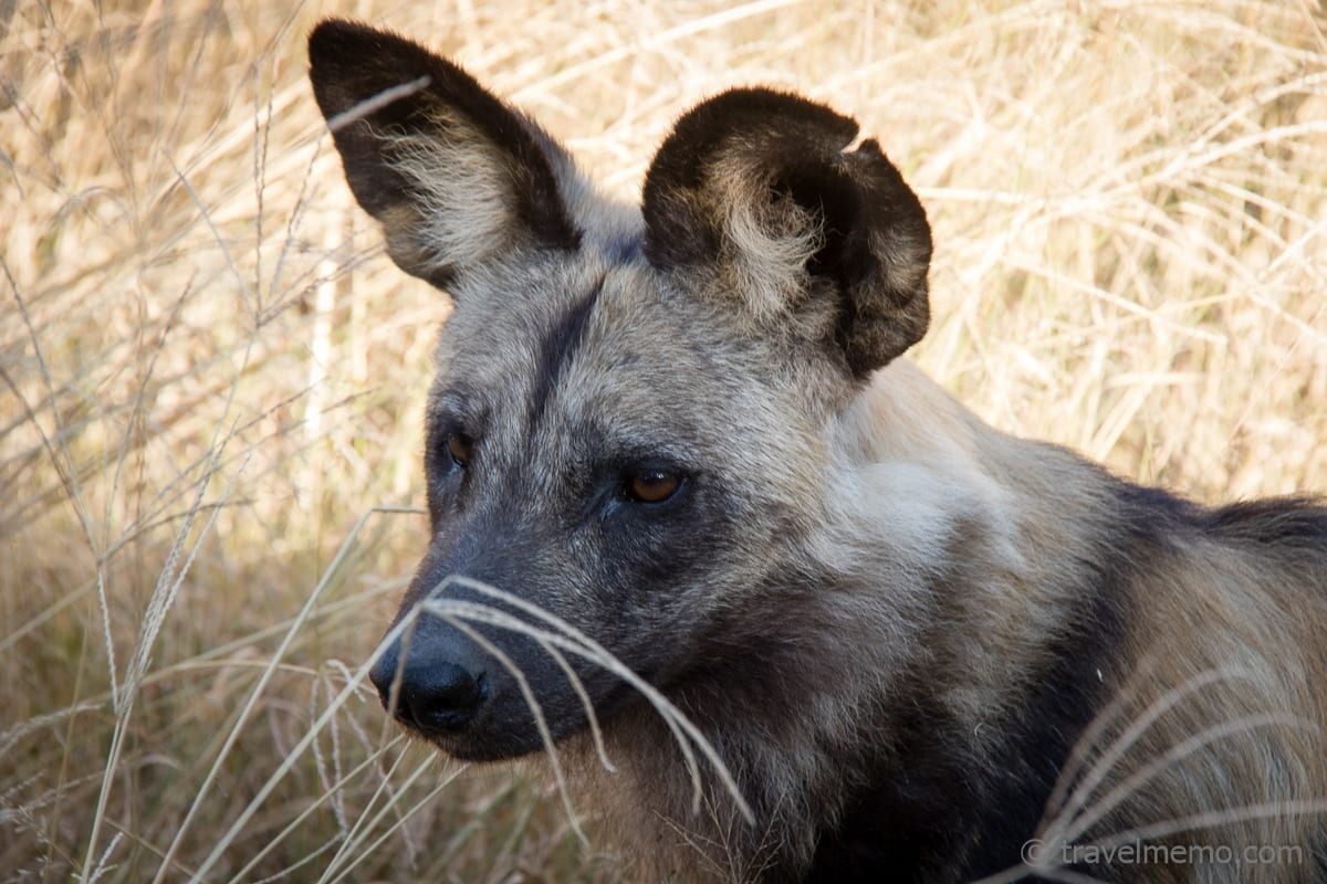 Wild dog relaxing in the shadow