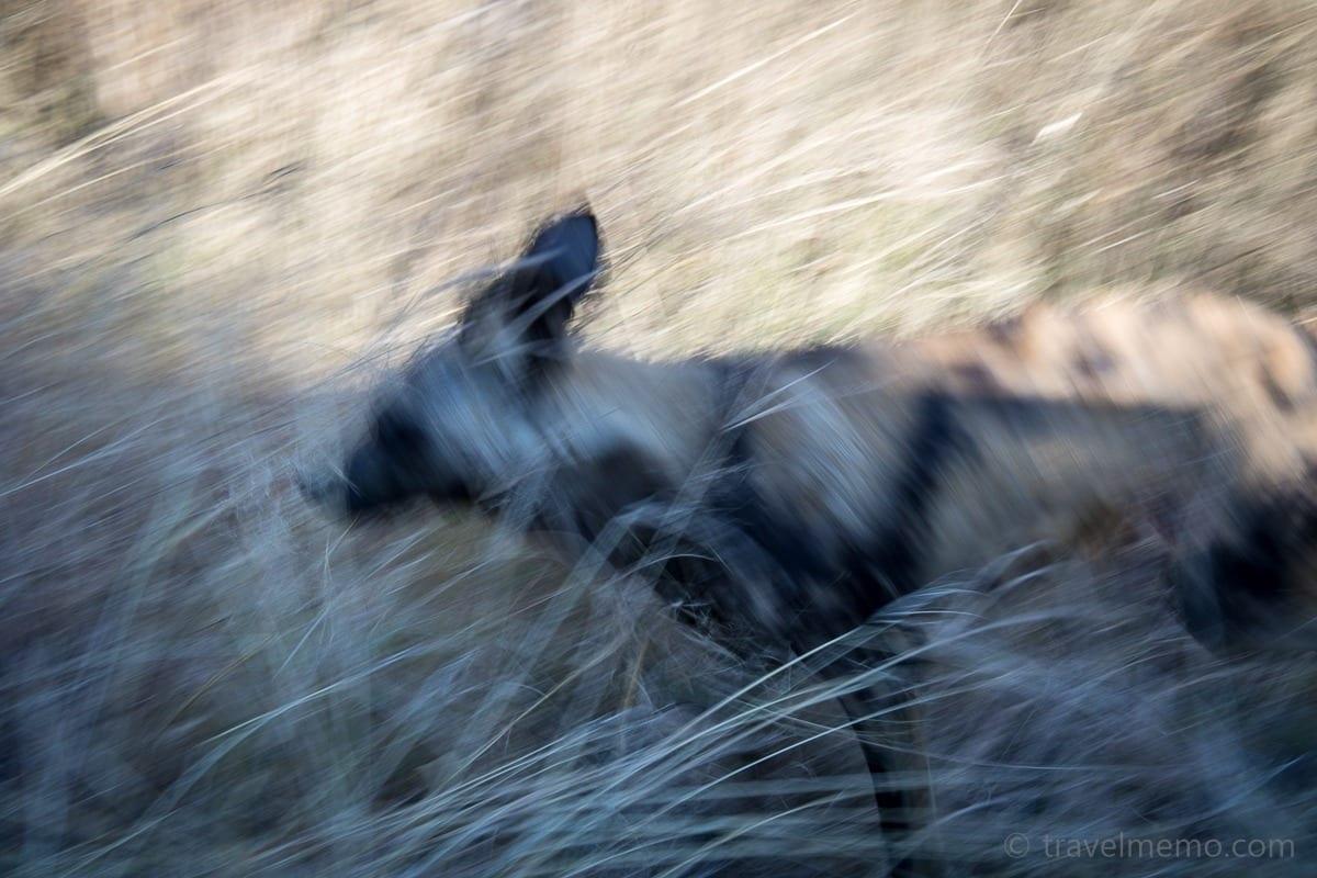 Ein der Hyäne ähnlichsehenden Wildhund