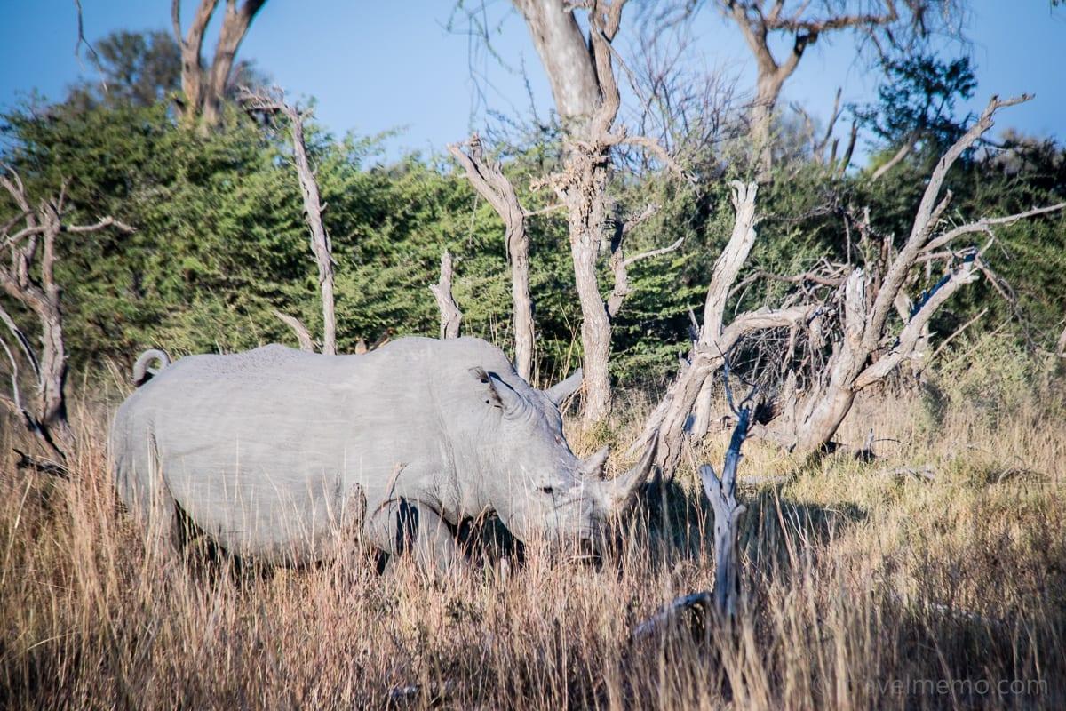 Nashorn im Moremi Wildreservat